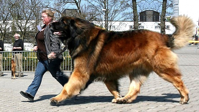 Large Breed Dogs